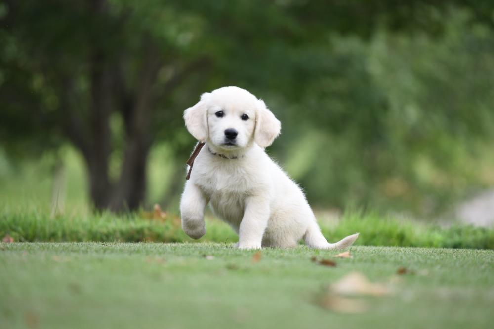 Piper's 8 1/2 Week Old puppies - Brown