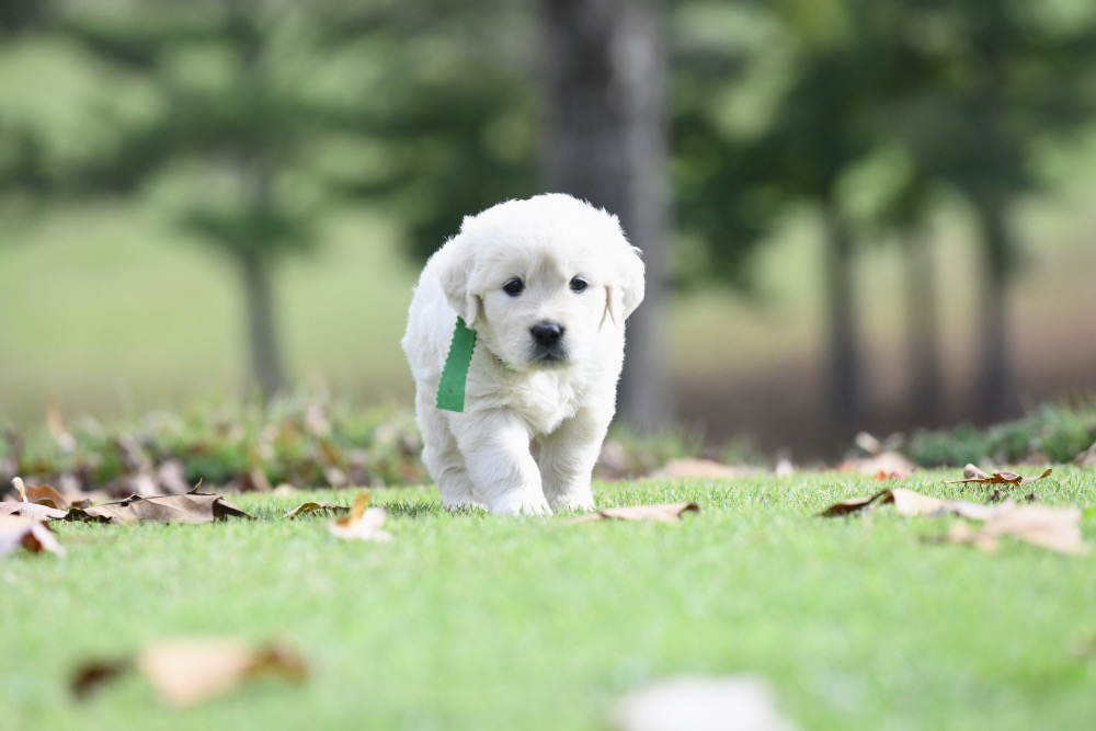 Molly's 5 week old puppies - Miss Green