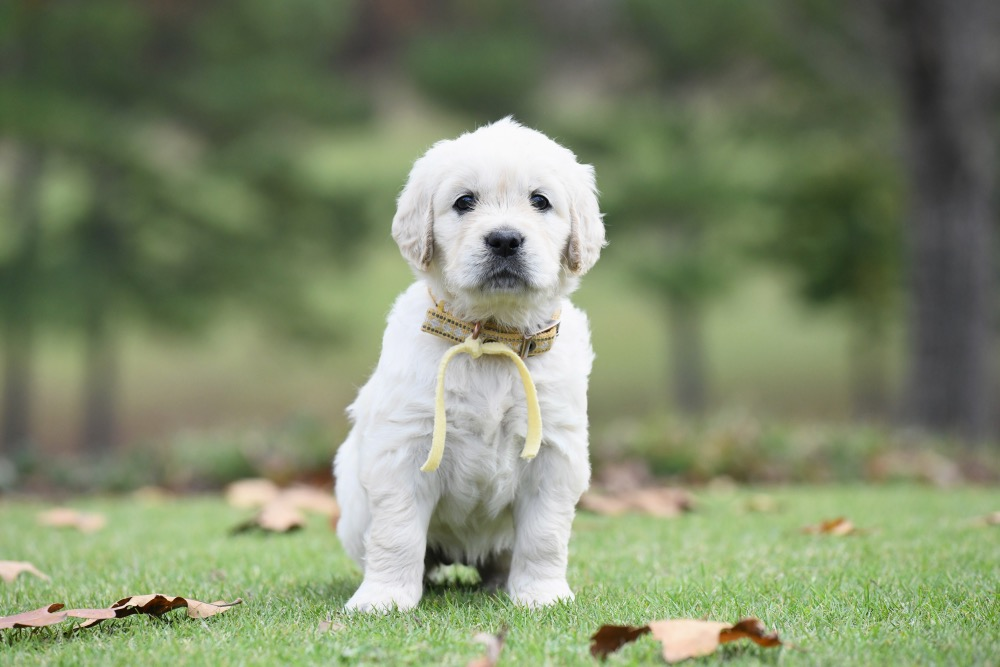 Molly's 5 week old puppies - Miss Yellow