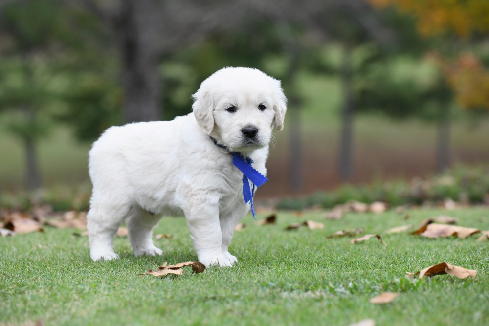 Molly's 5 week old puppies - Mr. Blue