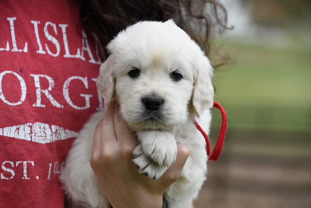 Molly's 5 week old puppies - Mr. Red
