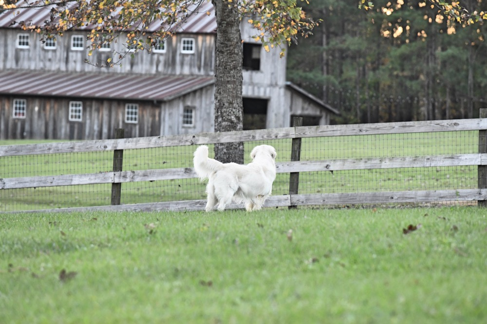 Flynn Looking at Barn