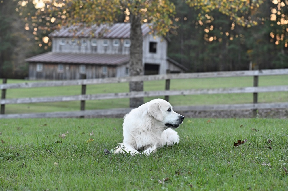 Flynn Lying in Road Pasture in Front of Barn