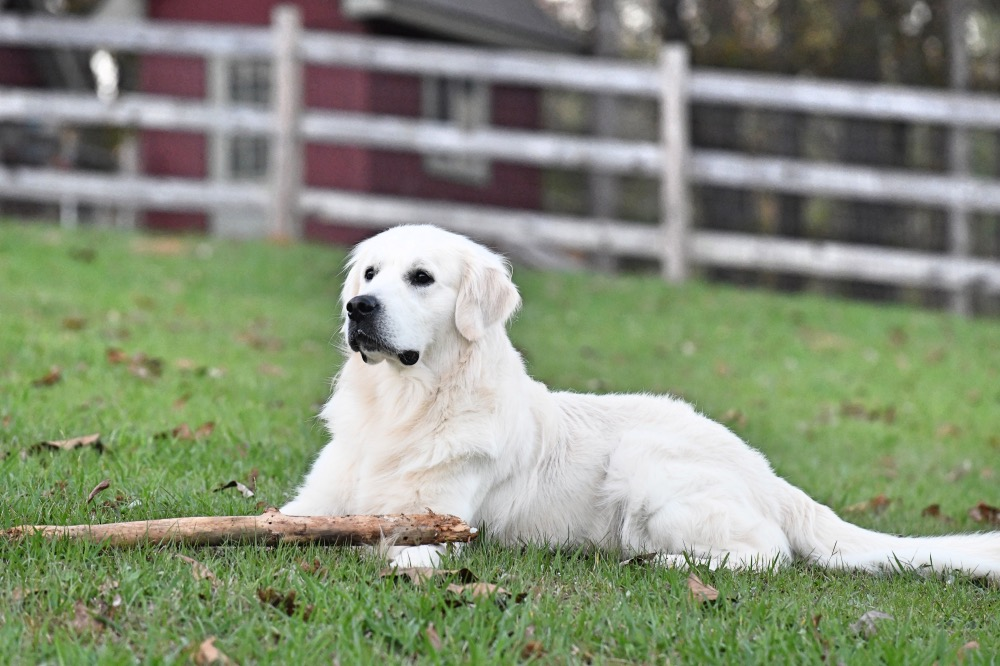 Flynn Lying in Front Pasture With Stick