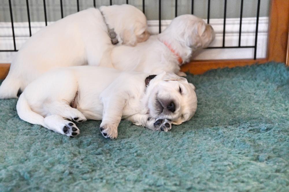 Tara's 3 Week Old Puppies