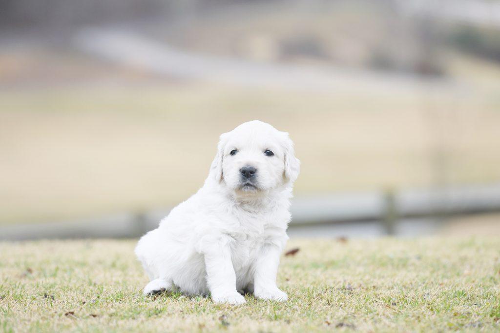 Tara's 4 Week Old Puppies - Miss Pink