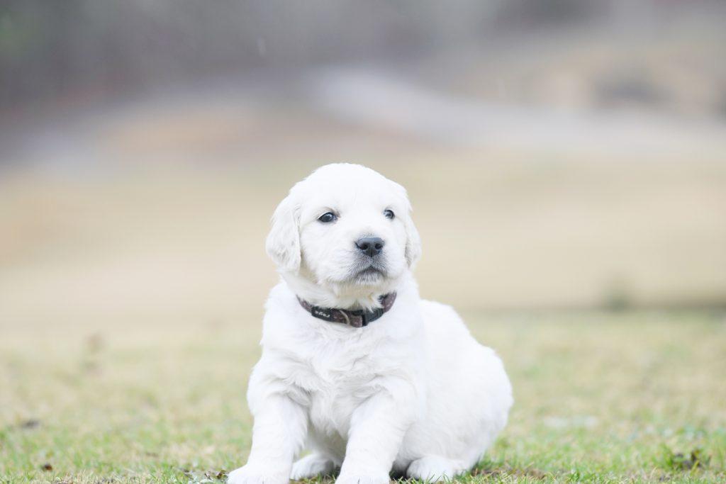 Tara's 4 Week Old Puppies - Mr. Brown