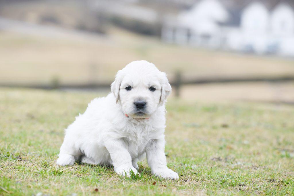 Tara's 4 Week Old Puppies - Mr. Orange