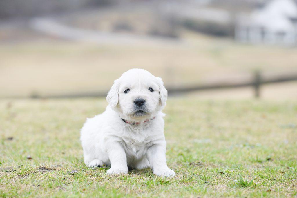 Tara's 4 Week Old Puppies - Mr. Red