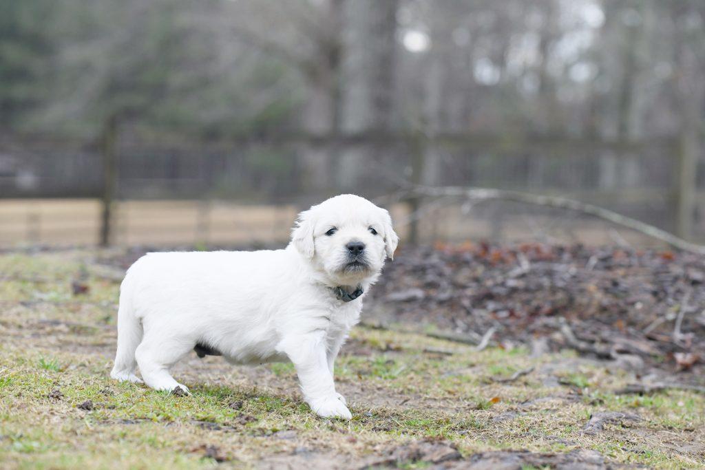Tara's 4 Week Old Puppies - Mr. Blue