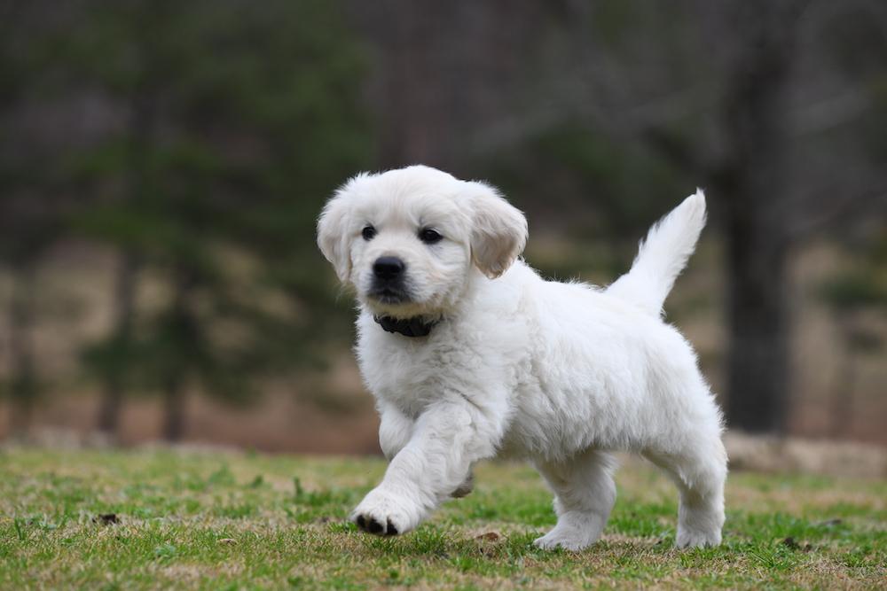 Tara's 6 1/2 Week Old Puppies - Mr. Blue