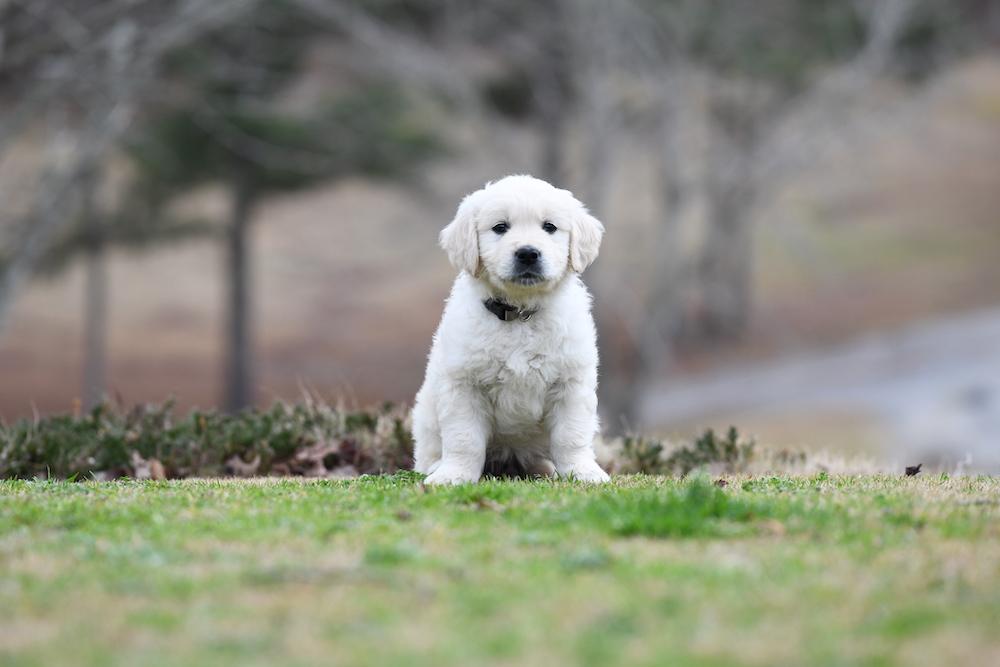 Tara's 6 1/2 Week Old Puppies - Mr. Gray