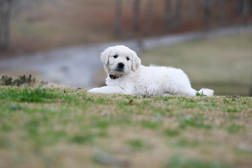 Tara's 6 1/2 Week Old Puppies - Mr. Red