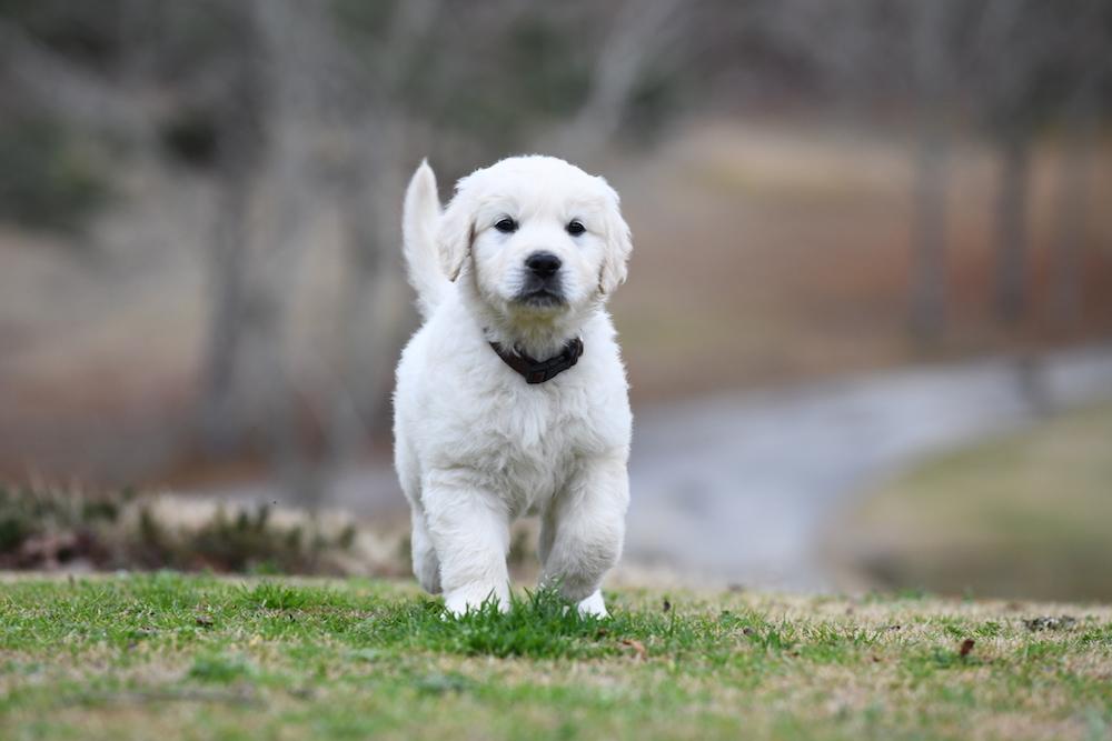 Tara's 6 1/2 Week Old Puppies - Mr. Brown