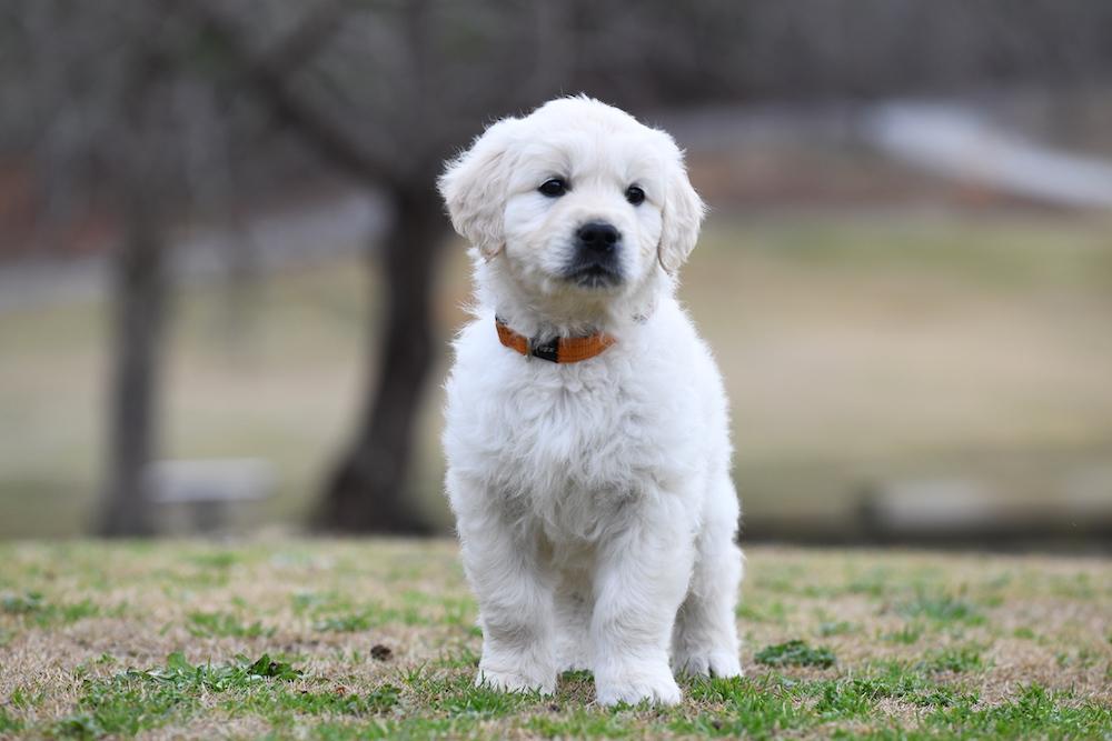 Tara's 6 1/2 Week Old Puppies - Mr. Orange