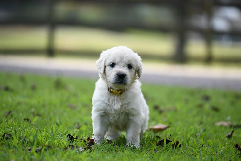 Tara's 5 Week Old Puppies -