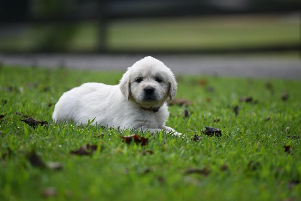 Tara's 5 Week Old Puppies - Mr. Red