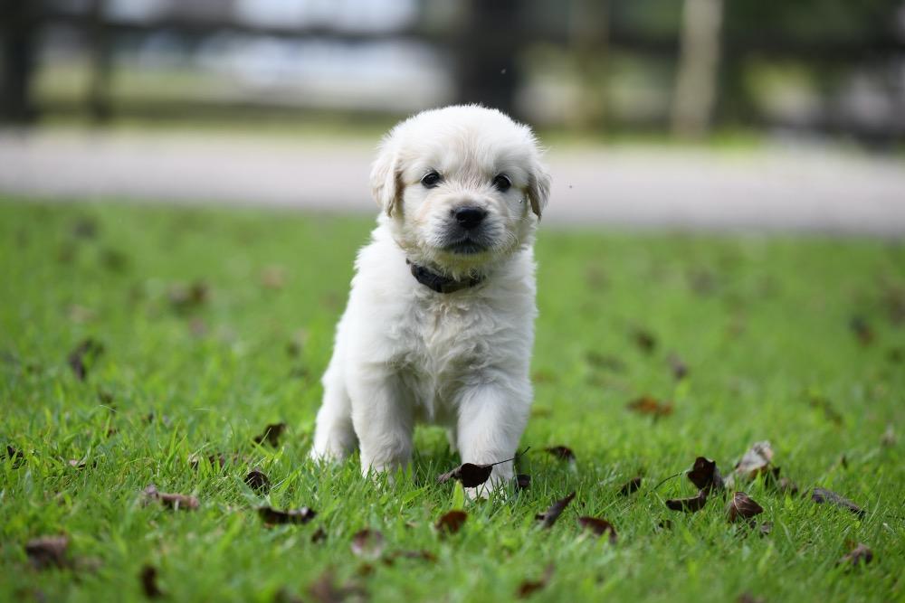 Tara's 5 Week Old Puppies - Mr. blue